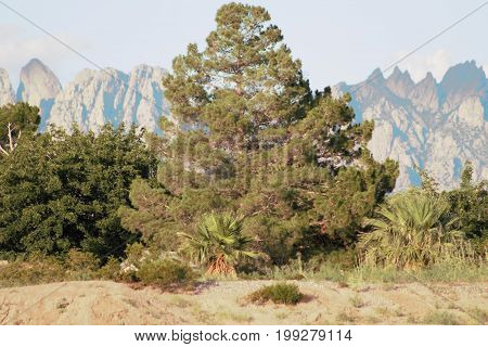 Big pine tree with the Las Cruces Organ mountains in background