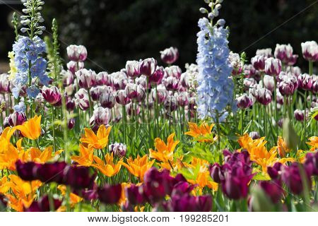 Amazing light drenched fully bloomed garden full of color and a wide variety of tulip species.