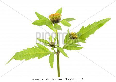 Three-lobe beggarticks (Bidens tripartita) isolated on white background. Medicinal plant