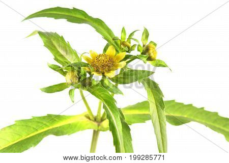 Nodding beggarticks (Bidens cernua) isolated on white background. Medicinal plant