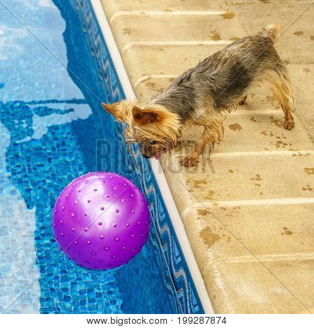 Yorkshire terrier, yorkies playing by the Pool