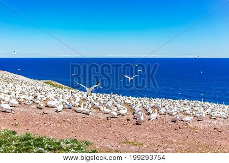 White Gannet Birds Colony Nesting On Cliff With One Bird Landing On Bonaventure Island In Perce, Que