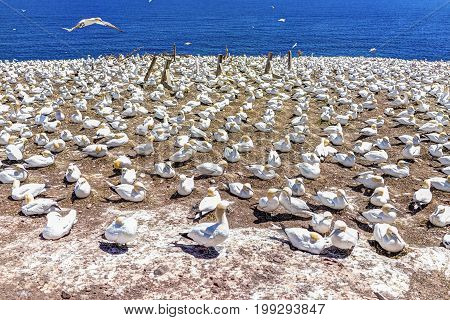 Overlook of white Gannet birds colony nesting on cliff on Bonaventure Island in Perce Quebec Canada by Gaspesie Gaspe region with one bird flying