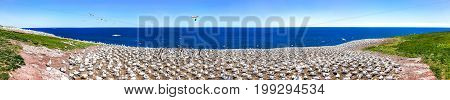 Panorama overlook of white Gannet bird colony nesting on cliff on Bonaventure Island in Perce Quebec Canada by Gaspesie Gaspe region