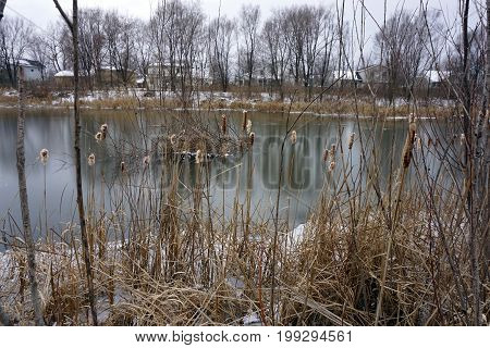 Common cattail (Typha latifolia, also called bulrushes) on the shore of a quarry pond in the Rock Run Preserve of Joliet, Illinois, during January.