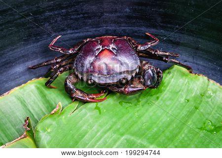Field crab Freshwater crab on banana leaf