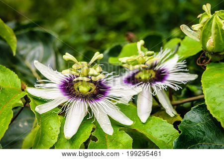 passion fruit flower and green leaves of granadilla passion fruit plant in garden