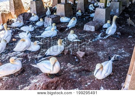 Closeup Of White Gannet Bird Colony Nesting On Cliff On Bonaventure Island In Perce, Quebec, Canada