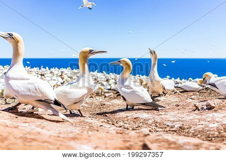 Closeup Of White Gannet Birds Nesting Looking Up Funny On Bonaventure Island In Perce, Quebec, Canad