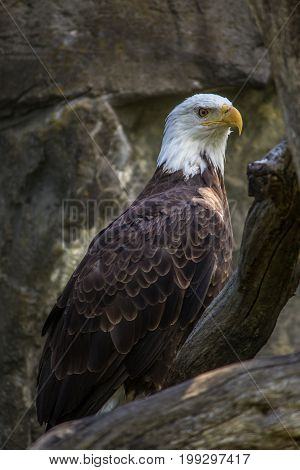 Bald eagle standing on trees in Rhode Island