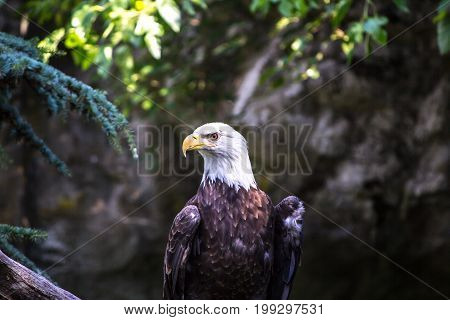Bald Eagle close up in Rhode island