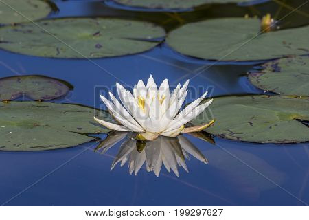 Water Lily Blooming On A Lake In Summer - Ontario, Canada