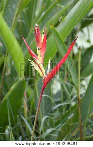 close up Heliconia flower in nature garden