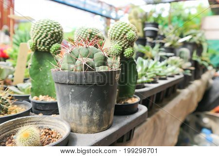 cactus or torch Thistle in the flowerpot