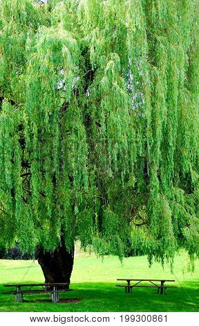 Large green tree in nature in a public park outdoors.