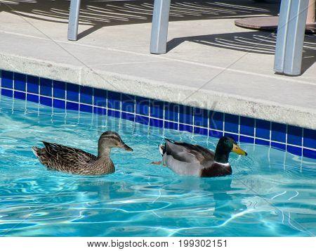 Romantic Swim - Duck Couple in Swimming Pool