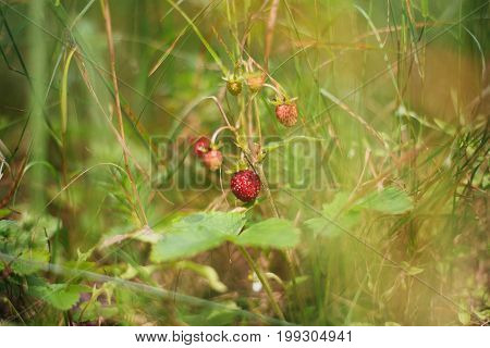 Strawberry bush with berries on the field