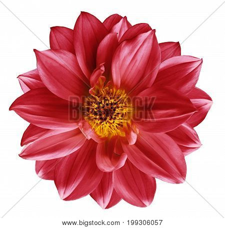 Red flower on isolated white isolated background with clipping path. Closeup. Beautiful Bright red flower for design. Dahlia. Nature.