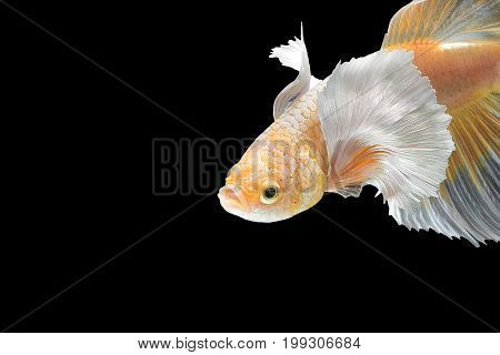 Close Up Art Movement Of Betta Fish,siamese Fighting Fish Isolated On Black Background With Copy Spa