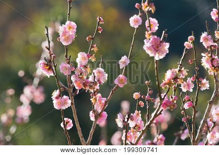 Japanese plum flower blooming with blurry background, Selective focus