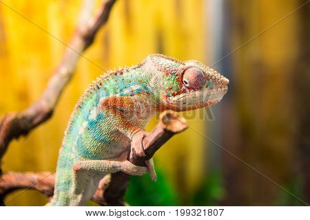 chameleon on branch. chameleon on branch. chameleon on branch