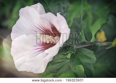 Large hibiscus flower with pink-white petals and stamens on a background of green leaves. Presents closeup.