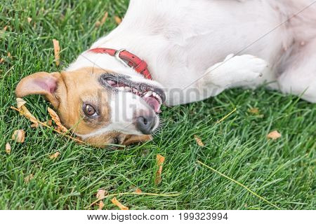 A happy dog Jack Russell Terrier lying on the back resting after play on green lawn outdoor at summer day