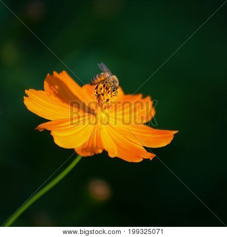 Beautiful yellow cosmos flower, Yellow flower of Mexican Diasy, Cosmos, Spanish Needle, Sulfur Cosmos, Yellow Cosmos (Cosmos Sulphureus Cav.)