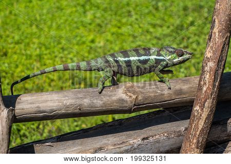 Chameleon walking on a fence in Madagascar