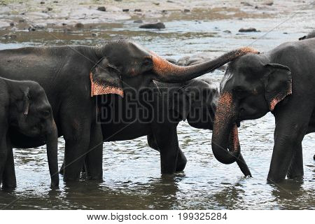 A family of elephants washes in the river. A small elephant with a trunk cleans another elephant. The river is on Sri Lanka. 2016