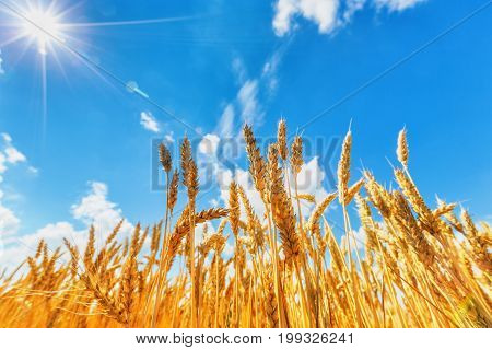 View of wheat ears beneath blue cloudy sky and sun