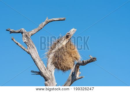 A sociable weaver Philetairus socius next to a community bird nest in Northern Namibia