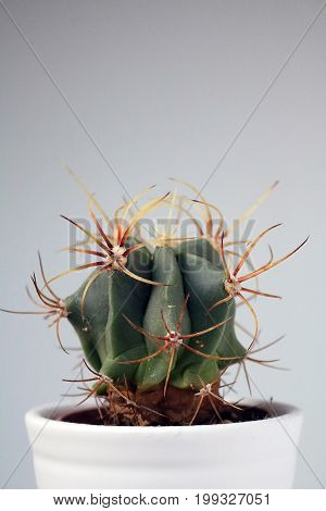 isolated cactus/succulent in front of neutral background