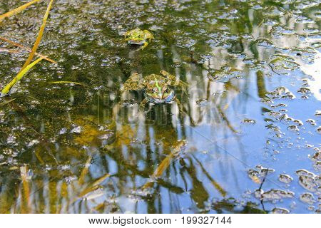 Frogs In The Swamp