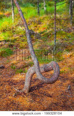 Curved pine tree, autumn season. Viru bogs at Lahemaa national park