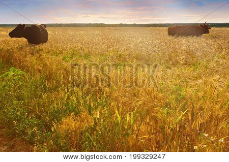 Cows grazing in a grain field at sunset