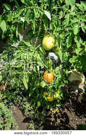 big tomato growing in garden urban gardening