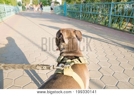 Staffordshire terrier dog pulls on a leash from owners perspective. Dog owners point of view of his untrained pet dog pulling forward at walk outdoors