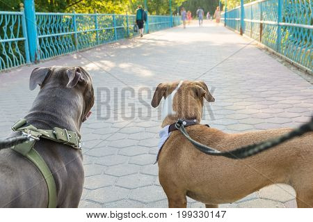 Two staffordshire terrier dogs stand on a leash from owners perspective. Dog owners point of view of their well trained pet dogs looking forward at a park