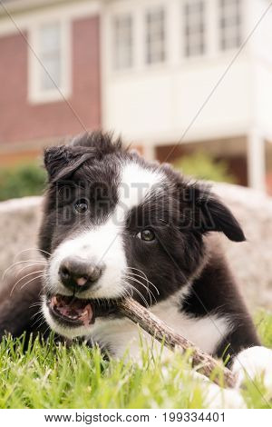 A young black and white border collie puppy lays in the grass and chews on a stick.