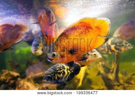 Two Oscar fish Astronotus ocellatus closeup shot on biotope. Hi res photo.