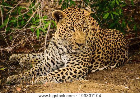 relaxed and chilled out male leopard resting