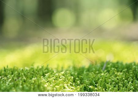Forest moss close-up. Blurred woods on background. Nature plants wallpaper