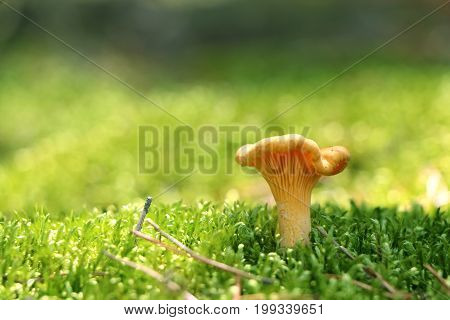 One mushroom chanterelle in green forest moss. Nature meal plants wallpaper