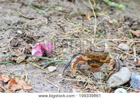 Crab walking on the land with open arms