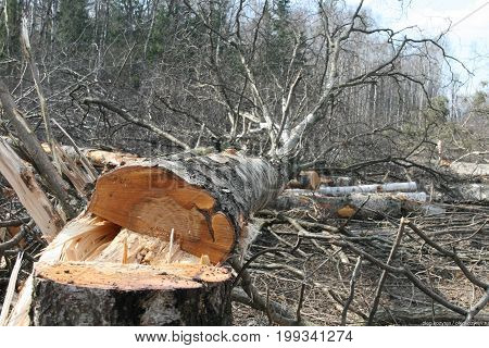 Cut down trees in the forest. Ecology and protection of nature. Industrial logging
