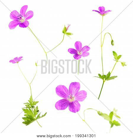 Pink flowers of Marsh Cranesbill (Geranium palustre) isolated on white background
