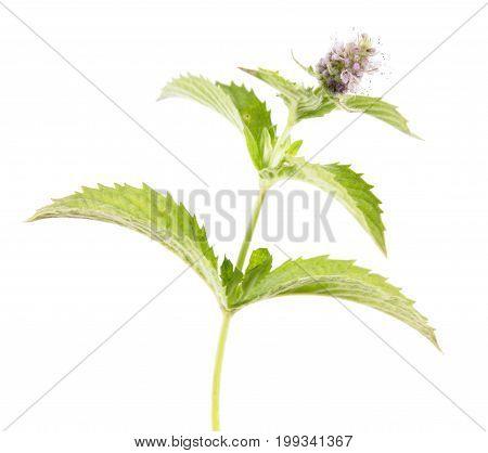 Horse mint (Mentha longifolia) isolated on white background. Medicinal plant