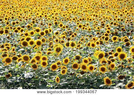 Many sunflower growth on farmer field wallpaper background