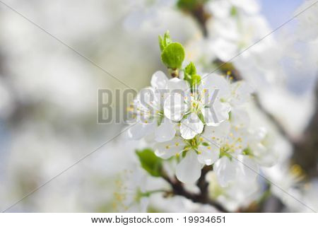 Picture of cherry-tree blossoming